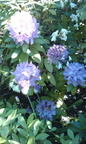 Rhododendron and allium