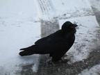"IMG 0133 ""Tame"" Raven at Columbia Icefield, Jasper"